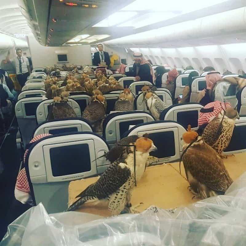 Un príncipe saudita compró asientos de avión para CADA UNO de sus 80 halcones