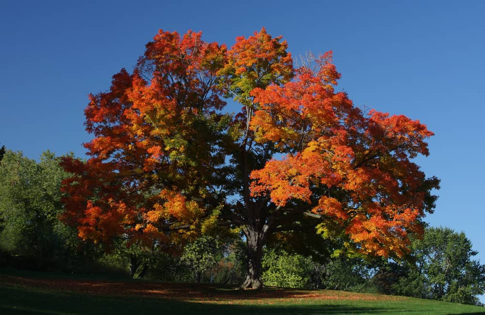 Árbol Maple (Acer)
