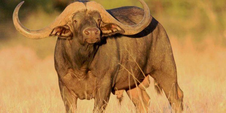 """Conozca a """"Horizon"""", el búfalo más caro del mundo con el asombroso precio de $11,1 millones"""