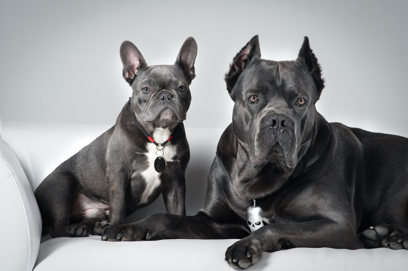Bulldog francés tumbado en el sofá de cuero blanco