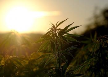 Beneficios científicamente probados de la marihuana en el cuerpo