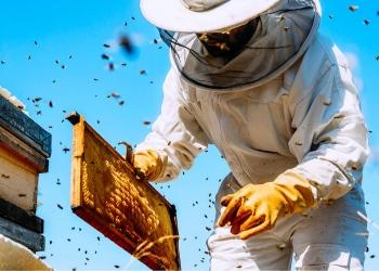 Apicultor trabaja recolectando miel