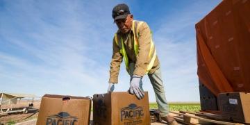 Trabajador mexicano recoge vegetales en el campo