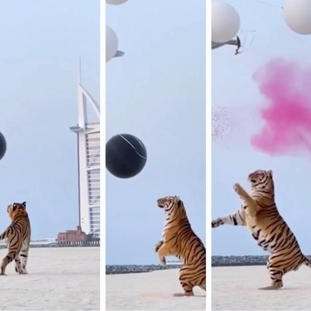 En su fiesta de revelación de género, pareja millonaria de Dubái utilizó un tigre para reventar los globos