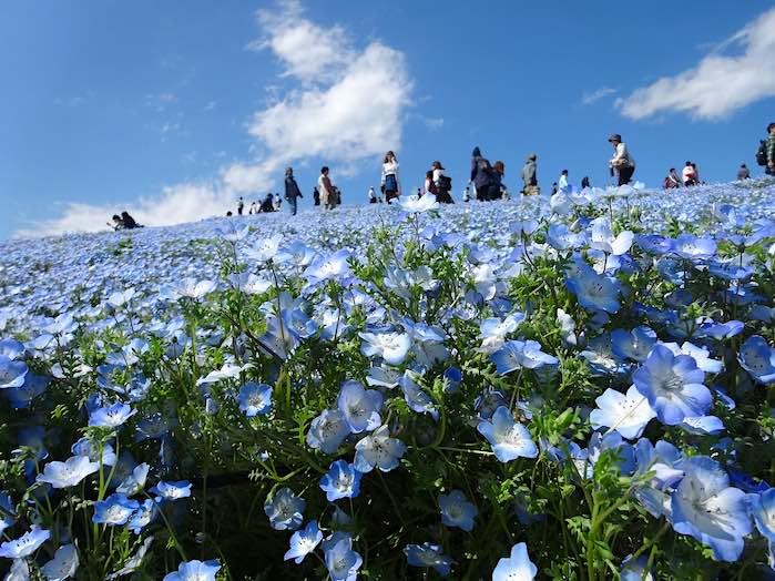 Parque costero Hitachi: Uno d los 50 lugares más hermosos del mundo que debes visitar antes de morir.
