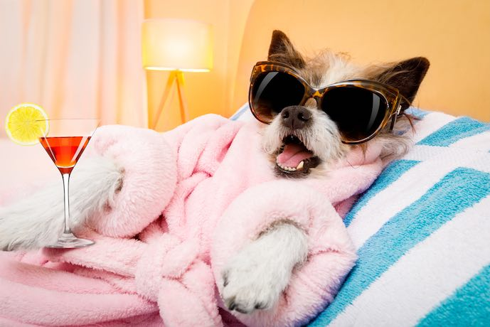 Perro caniche en spa wellness salon center