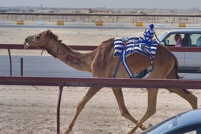 Carreras de camellos con jinetes robóticos.