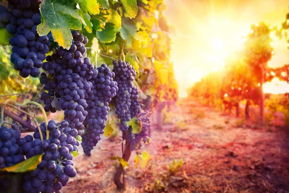 Viñedo con uvas maduras en Sonoma. Adobe Stock